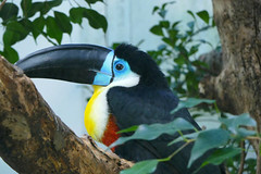 Colorfull toucan (Carandoom) Tags: 2017 suisse switzerland zoo bird oiseau color couleur bleu rouge red blue toucan animal colorful