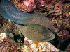 Moray Amour I (altsaint) Tags: 714mm egypt elquseir gf1 moray panasonic redsea roots coral eel fish scuba underwater