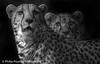 Cheetahs (Philip Pound Photography) Tags: isolatedbackground blackandwhite mono monochrome brothers speed fast carnivore cheetah bigcat cat animal wildlife bigcatsanctuary wildlifeheritagefoundation