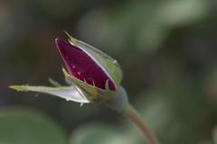 Rose (Jay Pasion) Tags: jaypasion nikon d7500 tamron nature dof bokeh rose flower red green macro napa california bayarea