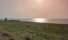 Sheep Up By Rottingdean Windmill (grahambrown1965) Tags: pentaxk5iis k5iis pentax ricoh 15mm limitedlens pentaxlimitedlens pentax15mmlimitedlens 15mmlimitedlens sussex eastsussex rottingdean windmill rottingdeanwindmill sheep animal animals grassland sea water seafront grazing grass field fields sun sunshine pastoral
