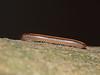 Ommatoiulus sabulosus (Julian Hodgson) Tags: ommatoiulussabulosus arthropoda myriapoda diplopoda julida julidae millipede sycamore holmefen nationalnaturereserve holme cambridgeshire sonydschx400v raynoxdcr150