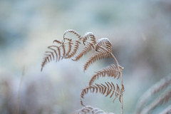 arching (Emma Varley) Tags: fern bracken frost nature plant botanical winter december westsussex sussex shallowdepthoffield dreamy soft romantic closeup