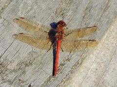 Ruddy Darter Dragonfly (Sympetrum sanguineum) (Nick Dobbs) Tags: ruddy darter dragonfly sympetrum sanguineum insect dorset heath heathland