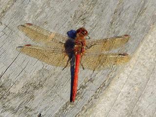 Ruddy Darter Dragonfly (Sympetrum sanguineum)