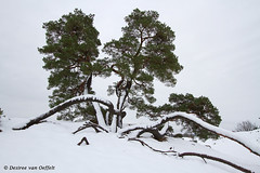 Hold on for dear life (Desiree van Oeffelt) Tags: netherlands nederland nature outdoors kootwijk kootwijkerzand tree trees hiking hike snow clouds cloud desireevanoeffelt canon