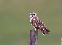 Short-eared Owl (Brandugla) 64 (sindri_skulason) Tags: shortearedowl brandugla