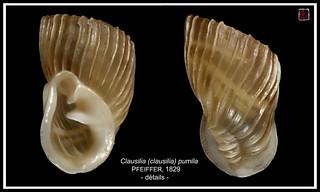 clausilia (clausilia) pumila1 hongrie