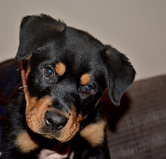 Meet Nova...xx           (explored 9/12/17) (shona.2) Tags: nova dog rottweiler puppy pet