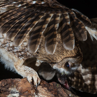 Tawny Owl - An Intimate Moment