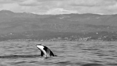 _D1A0185 BW Crop (gibbsbrian) Tags: orca killerwhale pacific montereybay mosslanding california blackandwhite breach sea whale canon canon5dmkiv ef28300mmf3556lisusm montereycaliforniaunitedstates november52017 usa