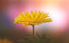 Marigold (Dhina A) Tags: sony a7rii ilce7rm2 a7r2 135mm f28 t45 stf sony135mmf28stf sal135f28 smoothtransitionfocus minolta smooth soft silky bokeh bokehlicious apodization marigold flower