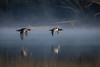 Leaving Horsepen (gseloff) Tags: hoodedmerganser bird duck flight bif nature wildlife fog water horsepenbayou pasadena texas kayakphotography gseloff