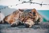 貓 (CLin 柏麟) Tags: clin4086 canon cat animal taiwan travel taipei sigma 1750mm f28 street 台灣 貓 動物 淡水 巷弄 760d