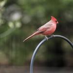 Cardinal thumbnail