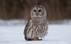 Barred Owl (salmoteb@rogers.com) Tags: bird wild outdoor nature owl snow barred outdor