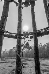 Il germoglio protetto - The protected sprout (drugodragodiego) Tags: giulianomauri art artland landart wood trees lodi lombardia italy blackandwhite blackwhite bw biancoenero pentax pentaxk1 k1 pentaxdfa2470mmf28 hdpentaxdfa2470mmf28edsdmwr pentaxiani