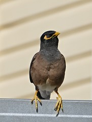 Common Myna bird Acridotheres tristis now in Proserpine Area NQ P1440199 (Steve & Alison1) Tags: common myna bird acridotheres tristis now proserpine area nq