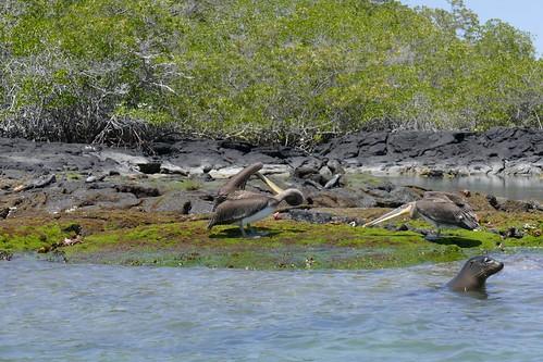 Brown Pelicans & Galápagos sea lion
