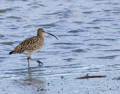 Photo of Curlew Teifi River-2
