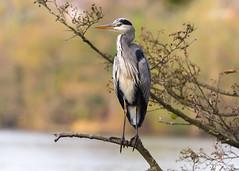Grey Heron ( Ardea cinerea ) (Dale Ayres) Tags: grey heron ardea cinerea bird nature wildlife