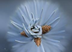 in my grasp (rockinmonique) Tags: macro pine needles blue green seed cone bokeh moniquew canon canont6s copyright2017moniquew