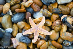 Starfish , Rye Beach (safc1965) Tags: rye harbour beach seafood starfish nature reserve east sussex landscape photography seaside