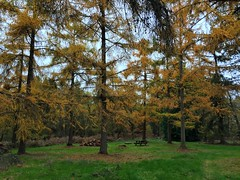 Hybrid Larch In Autumn (Marc Sayce) Tags: hybrid larch larix eurolepis marchlinsii arboretum trees colours fall leaves autumn november 2017 alice holt forest hampshire farnham surrey south downs national park