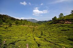 India - Kerala - Munnar - Tea Plantagen - 224 (asienman) Tags: india kerala munnar teaplantagen asienmanphotography