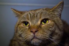 still tired (Siggital) Tags: kadse katze kitty kenny cat caturday