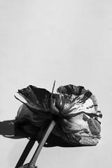 Last days (alideniese) Tags: blackandwhite bw monochrome flower rose variegated flora aged oldflower rosa alideniese closeup 7dwf stilllife light shadow contrast pattern whitebackground petals single one lonely regret