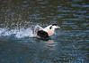 Stand by for lift off (mikedoylepics) Tags: eiderduck duck bi birds british bird britishwildlife animals arundelwildlifewetlandstrust arundel arundelwwt d750 nature nikon nikond750 wildlife wild westsussex wwtarundel wwt