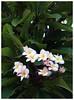 Frangipani flowers (Gurugo) Tags: srilanka trincomalee sandybay frangipani araliya plumeria flower flor flowers flores fuula leaves folhas