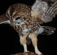 Winging it....... (Mr F1) Tags: tawnyowl johnfanning woodland nature outdoors closeup detail feathers eyes dark night strixaluco raptor bop birdsofprey talons wild