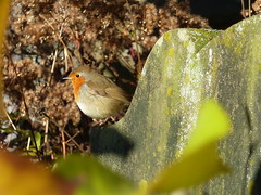 Photo of Robin in the Howff