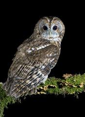Tawny Owl (oddie25) Tags: canon 1dx 300mmf28ii tawny tawnyowl owl birds birdphotography bird nature naturephotography wildlife wildlifephotography birdofprey