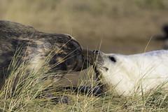 Grey Seals & Pups (simononeill1971) Tags: greyseals seals sealpups pup seal portrait animals wildlifephotography wildlife donnanook lincolnshire