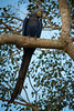 Hyazinth Ara Pantanal (andala08) Tags: brasilienubolivien2017 brazil brasilien bird vogel ara hyazinthara selten macaw rare bedroht nature natur freiewildbahn pantanal yellow blue blau gelb