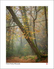 Slight Inclination (Chalky666) Tags: tree trees wood woodland forest fog autumn beech hampshire painterly landscape art