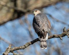Coopers Hawk (Matt Shellenberg) Tags: coopers hawk coopershawk accipiter