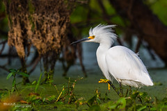 Snowy Egret xxx (Phocal Art) Tags: 1 40acrelake animalia ardeidae aves black brazosbendstatepark brown chordata claw egrthu eat eating egretta egrettathula feeding green hunting neoaves neognathae neornithes pelecaniformes sneg snowyegret texas usa water white yellow alone feed fluffy foot fullbody hunger hungry hunter lake lowperspective marsh marshland marshy morning morninglight ocean one pond predator profile searching side sideview sideways single sunrise swamp swampland swampy