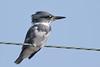 Belted Kingfisher (Alan Gutsell) Tags: belted kingfisher beltedkingfisher fish fishing diving bird birding alan texasbirds texas coast