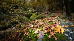 Chaos d'automne,Huelgoat,Finistére,Finiscape.explore. (yann2649) Tags: granit chaotique légende korrigan bretagne france mousse automne jaune feuille platane nature outdoor brittany wood forest