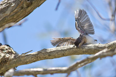 Leaden Flycatcher - It's fledging time! (petefeats) Tags: australia birds brisbane leadenflycatcher monarchidae myiagrarubecula nature passeriformes queensland sandycamproadwetlands wynnum chicks nest