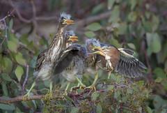 Green Heron feeding chicks (Ken Phenicie Jr.) Tags: greenheron feeding chicks milpitas lowlight