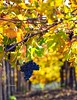 Autunno fra i filari delle vigne (maresaDOs) Tags: uva natura filari vigneti abruzzo ortona italia frutta food foglie grapes novembre 2017 autunno uvas lesraisins nikon nikond3300