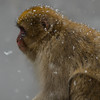 Snow monkey (rrfaris1957) Tags: littlestories picswithsoul monkey snow japan