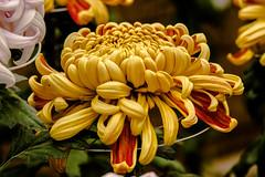 Chrysanthemum (sklachkov) Tags: flower flowers chrysanthemum fall november tokyo