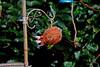 Cocopecker (Luzon Jim) Tags: bird woodpeckers greaterwoodpecker outdoor watermark garden wildlife nikon d5100 lens camera zoom feeder nature animal