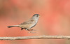 Levitating Sparrow (Rick Derevan) Tags: california bird sparrow whitecrownedsparrow levitate levitating jump jumping red autumn fall zonotrichialeucophrys ngc bokeh